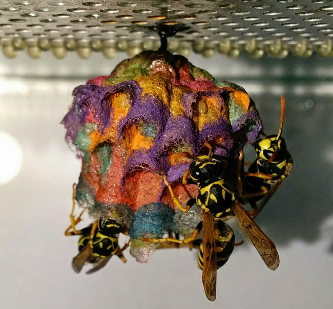 Colored wasps nest