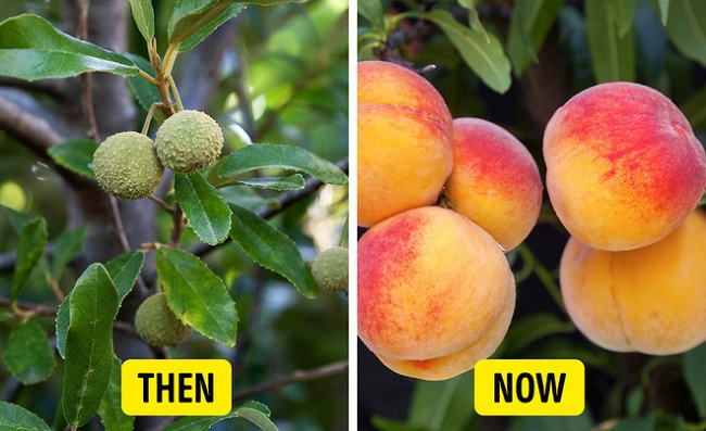Cherries and peaches were of the same size