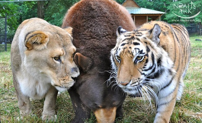 A tiger bear and lion