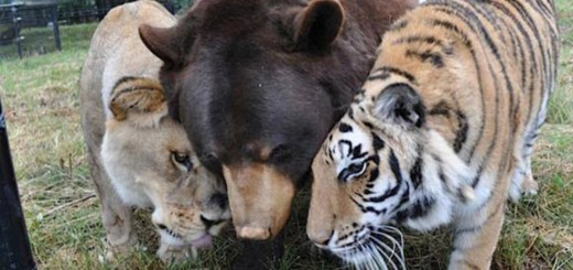 The Incredible Story Of How A Tiger, Bear, And Lion Became Best Friends For Life