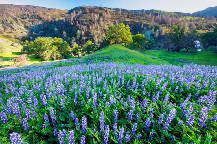 Colorful lupine bloom at Berryessa Snow Mountain National Monument