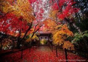 京都光明寺の紅葉狩り 参道は紅葉の絨毯