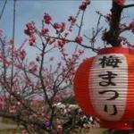 京都 青谷の梅林 梅まつり