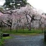 京都 桜情報・見どころ