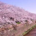 地元の人しか知らない桜の穴場 天神川の桜並木
