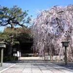千本釈迦堂のソメイヨシノも咲きはじめました