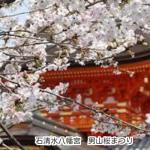 京都 石清水八幡宮 男山桜まつり(ライトアップ期間あり)