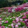 京都花の名所 三室戸寺のつつじ・しゃくなげ園