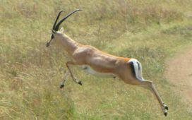 Gazeller