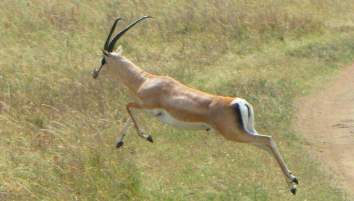 Gazeller skaber jobs, men der bliver færre af dem