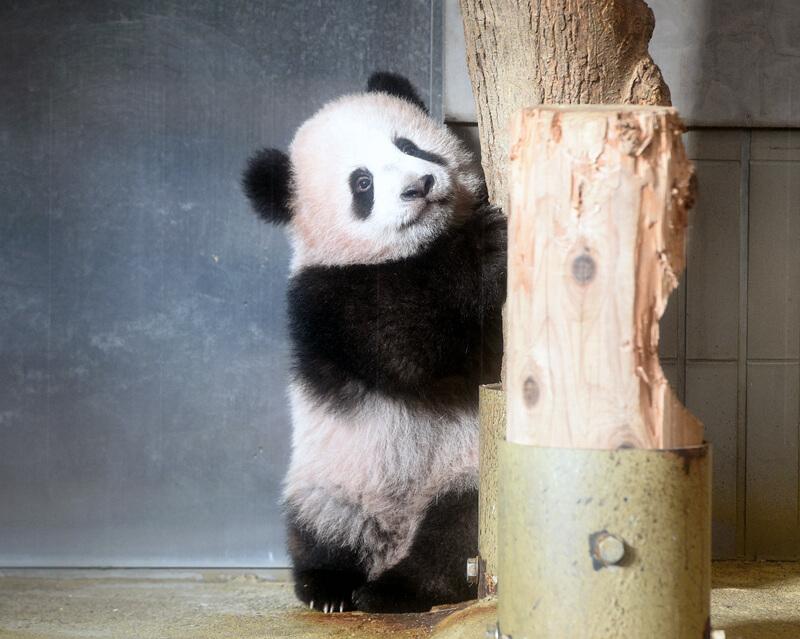 上野動物園のパンダ「シャンシャン」明日から一般公開!!
