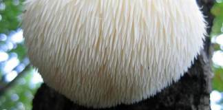 health benefits of lions mane mushroom