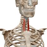 Грудино-щитовидная