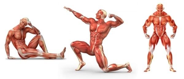 Мышцы человека | Анатомия силовых упражнений