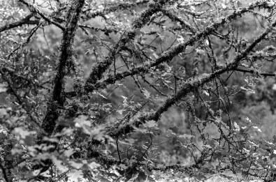 mossy tree near Angels Camp.