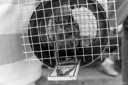 Chipmunk caught in trap at a nature camp.