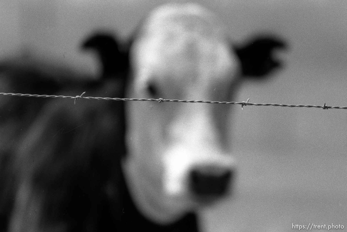 Cow behind barb wire.