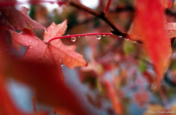 Rain drops on fall colored leaves
