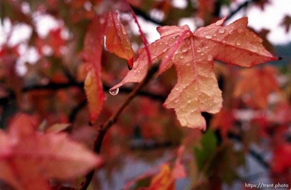 Rain drop on fall colored leaves