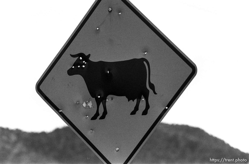 Cattle traffic sign with bullet holes.