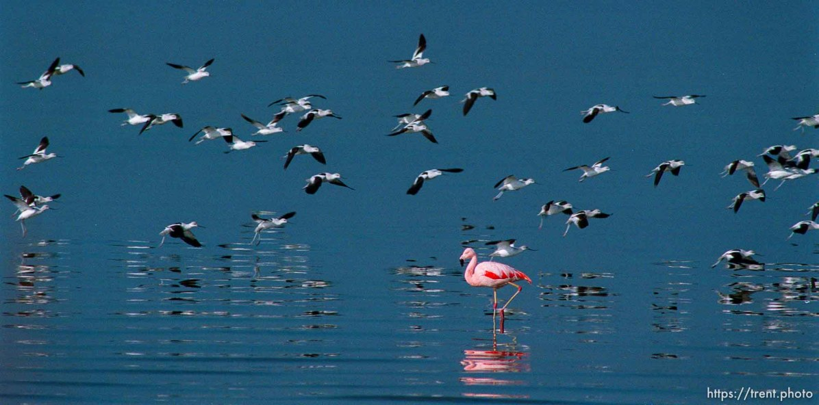 Pink Floyd, a Chilean flamingo that escaped from Tracy Aviary in 1988, on the shore of the Great Salt Lake where it spends most winters.