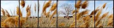 cows in field, tree