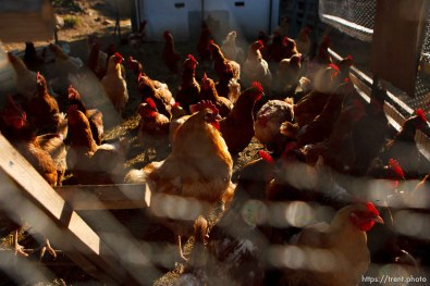 Westcliffe - . Wednesday, July 30, 2008. chickens
