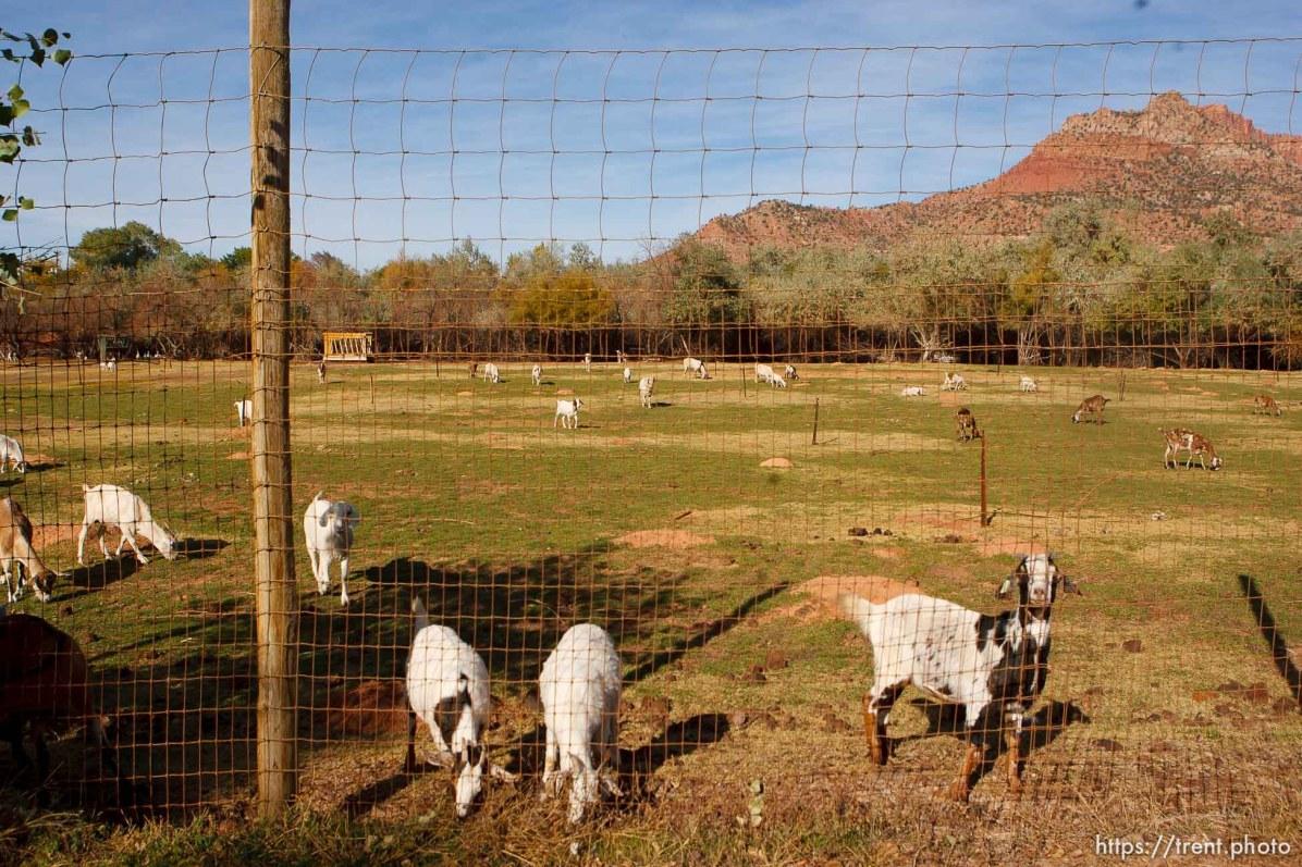 Colorado City - Goats in former elk pen, Friday October 24, 2008.