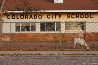 goats penned at colorado city school district building, Thursday November 29, 2012.