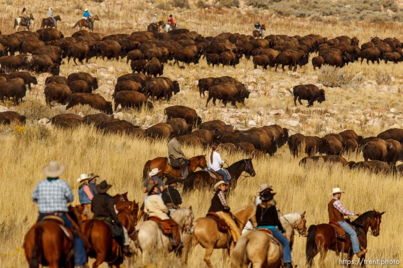 Trent Nelson | The Salt Lake Tribune Riders drive bison at the annual Antelope Island Bison Roundup, Friday October 25, 2013.
