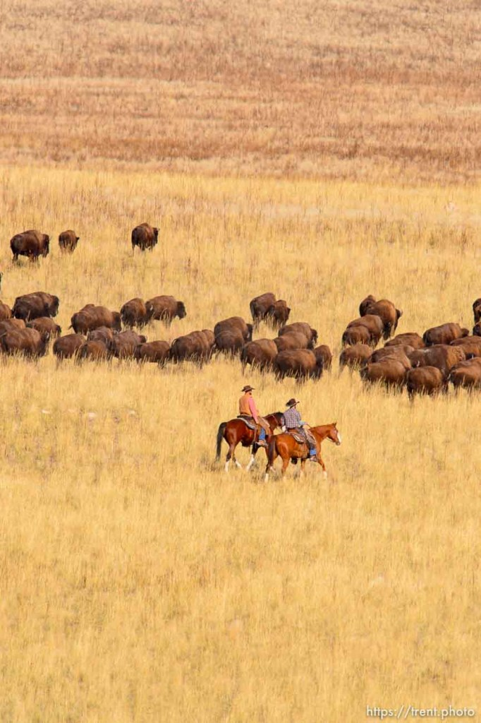 Trent Nelson | The Salt Lake Tribune The annual bison roundup at Antelope Island State Park, Friday October 24, 2014.