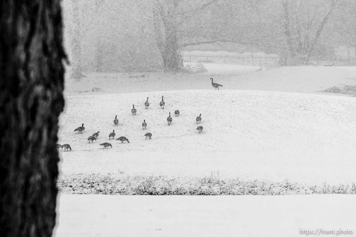 Canadian geese in Nibley Park, Tuesday, January 25, 2011.