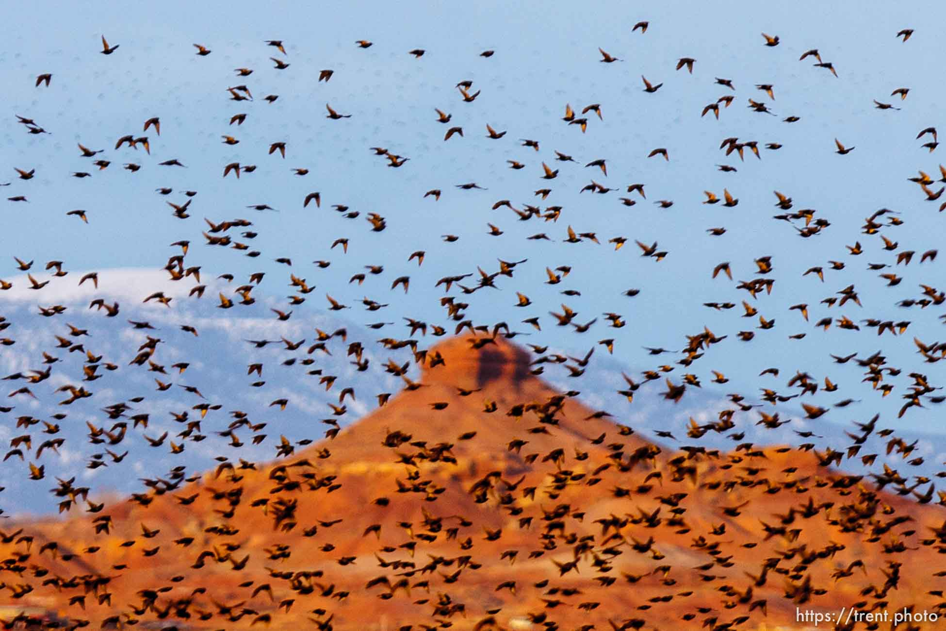 Huge flock of Starlings, Tuesday, February 21, 2012 in Roosevelt, Utah.