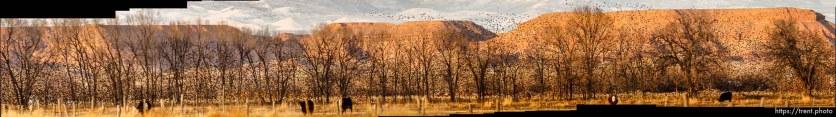Huge flock of Starlings, Tuesday, February 21, 2012 in Roosevelt, Utah.