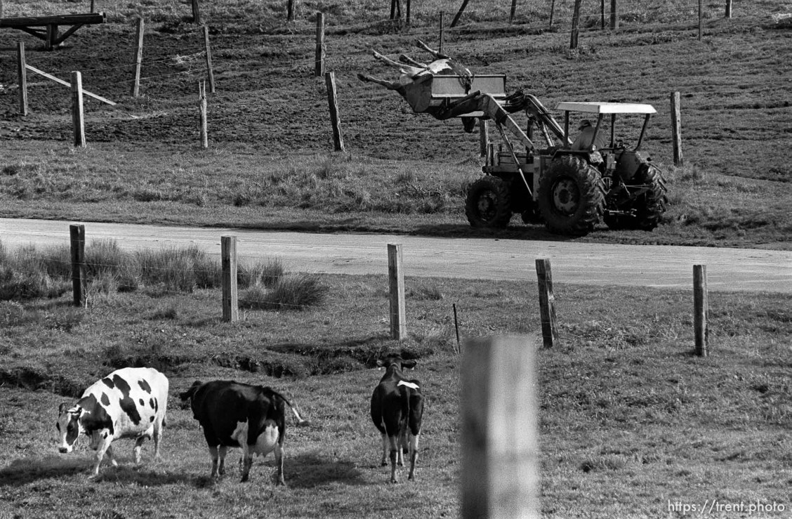 Cows graze and watch as a dead cow is hauled away in a tractor.