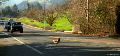 Chicken crosses the road
