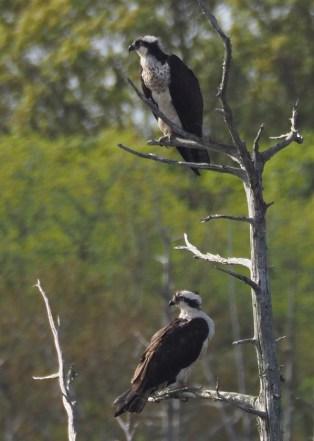 2 osprey