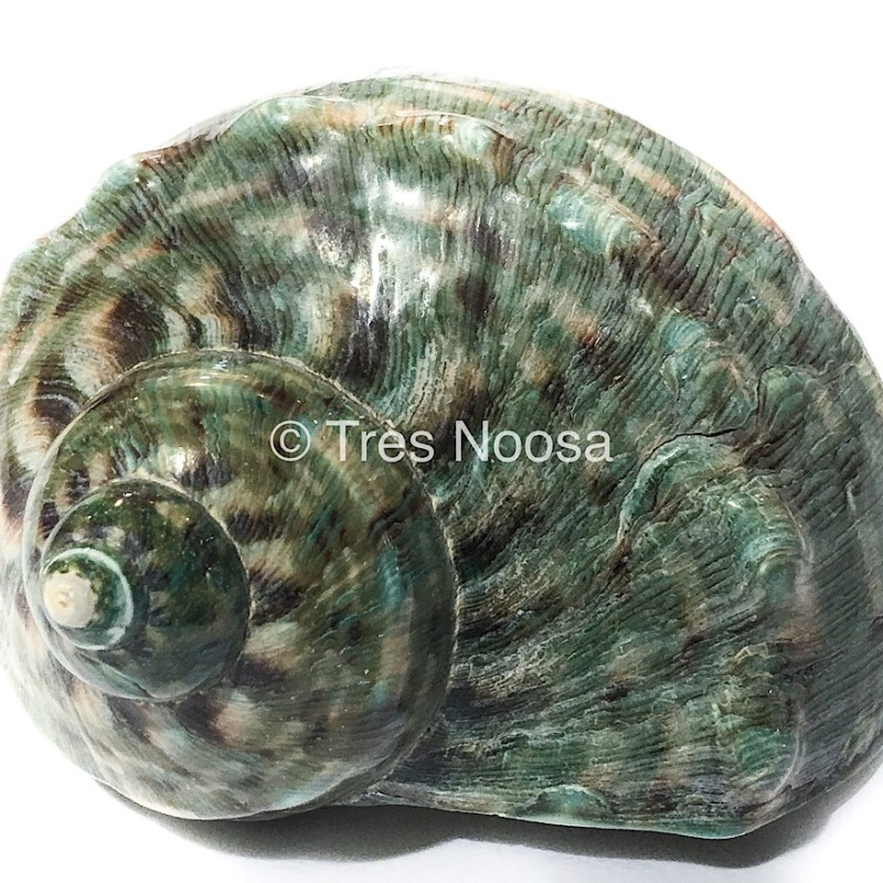 Large green snail shell