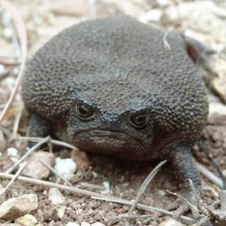 rain-frogs13