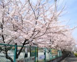 桜満開3月