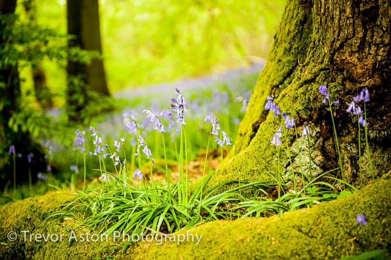 Photograph the Bluebells, they don't stay for long!