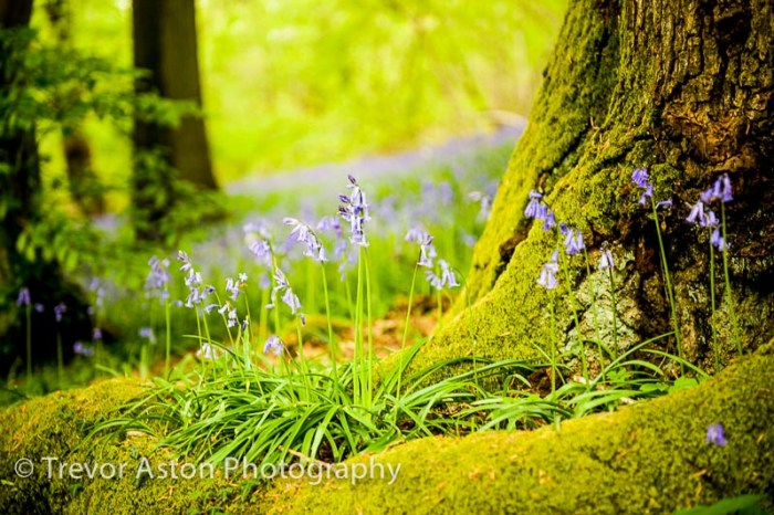 landscape photograph of bluebells and moss