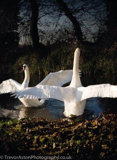 photograph of swans. photography photographer