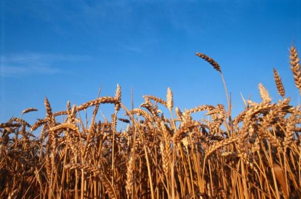 Trevor Gunn, Homeopathy - Wheat Picture