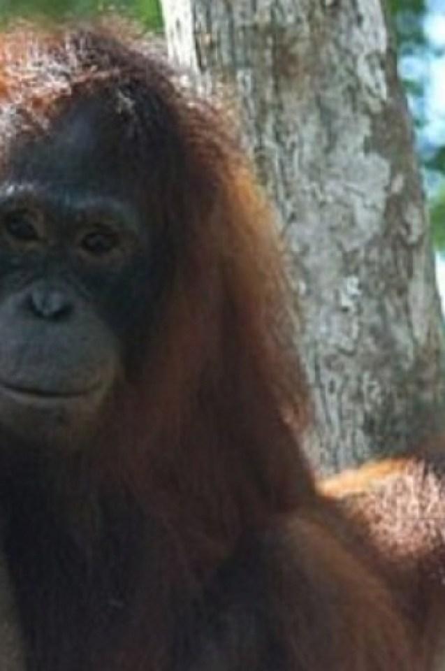 Изроди продаваха орангутанска плът срещу 2 долара, 35 командоси щурмуваха зообардака и спасиха робинята!(СНИМКИ)