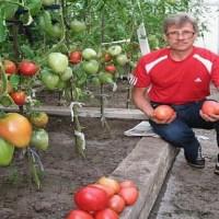 Градинар: Пръскам растенията с инфузия от мая, краставиците и доматите ми не се разболяват!