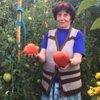Леля Руми от Сандански ползва много проста рецепта за доматите, за да вади по цяла кофа от корен