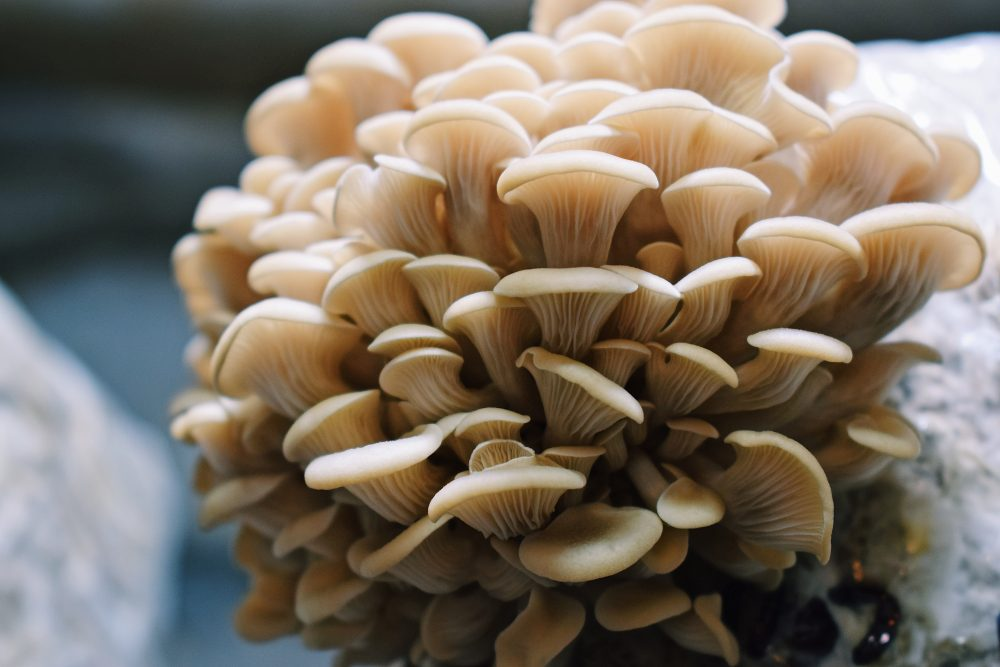 mushrooms-borrowed-land-farm-nc