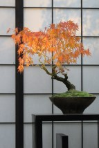 The breathtaking color of this maple needs no further adornments.