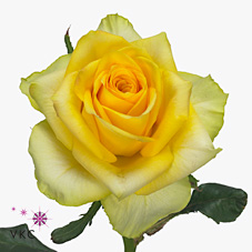 Rose Golden Ambition